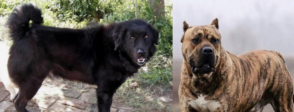 Perro de Presa Canario vs Bakharwal Dog