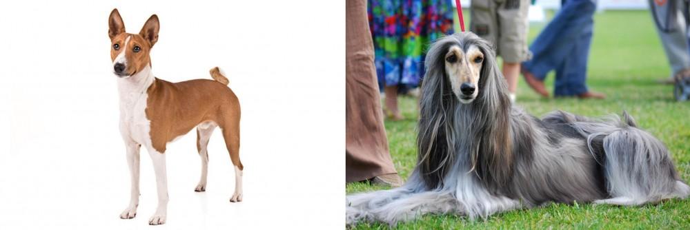 Basenji vs Afghan Hound