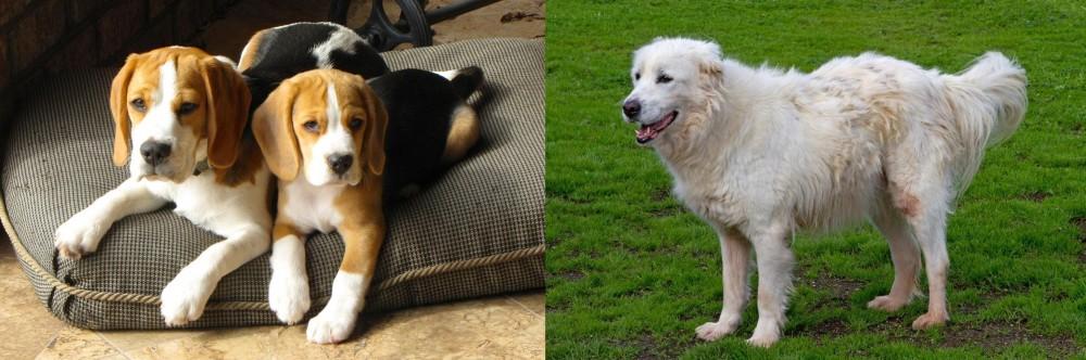 Abruzzenhund vs Beagle