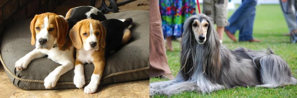 Afghan Hound vs Beagle