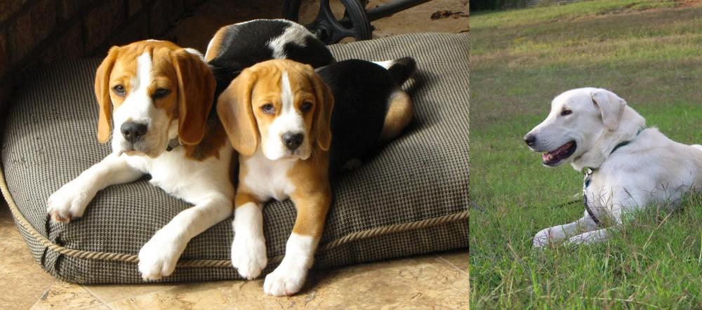 Akbash Dog vs Beagle