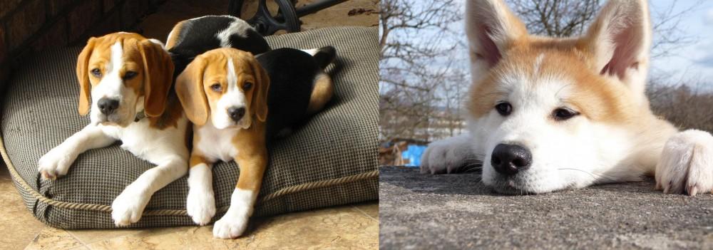 Akita vs Beagle