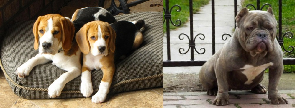 American Bully vs Beagle