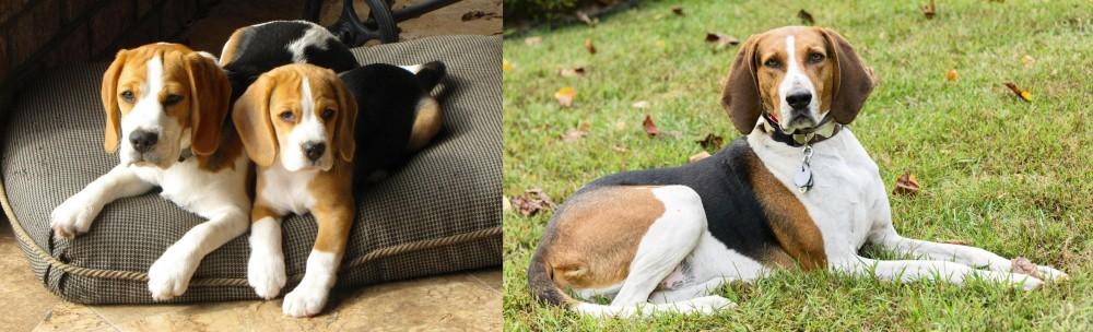 American English Coonhound vs Beagle