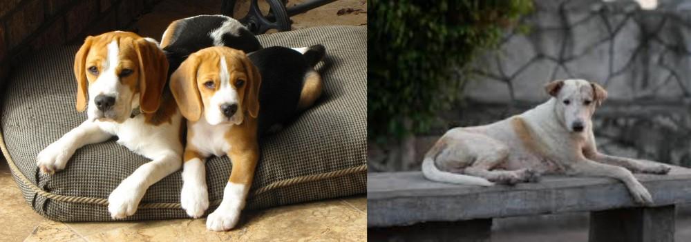 Askal vs Beagle