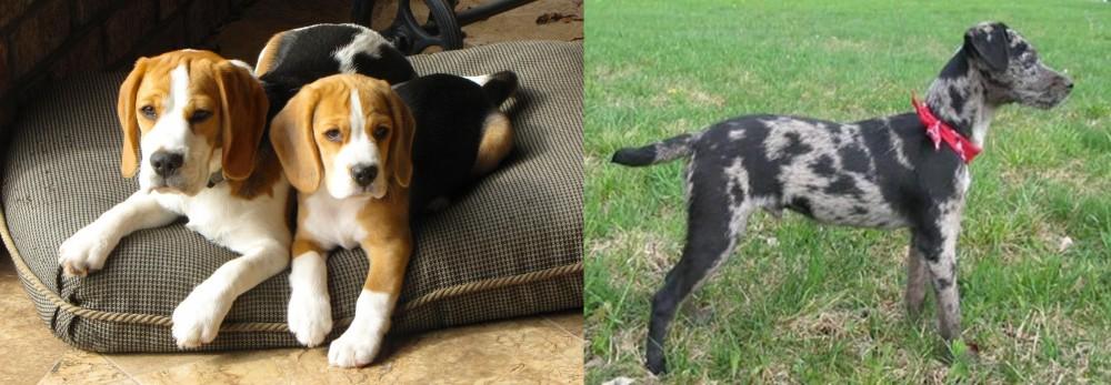 Atlas Terrier vs Beagle