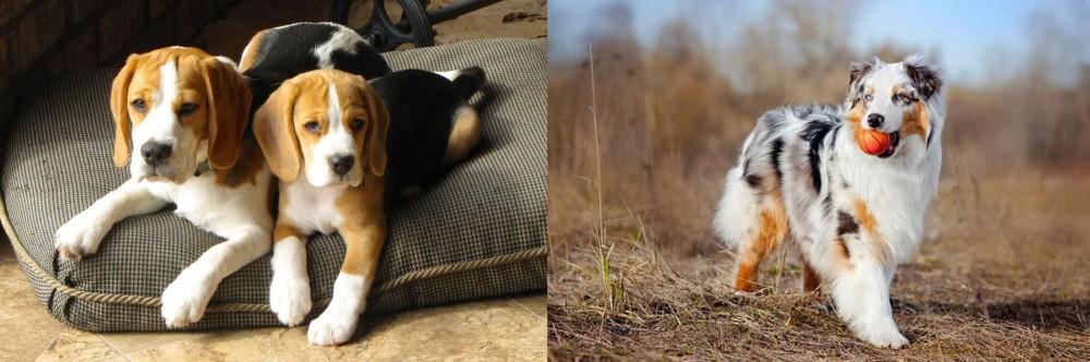Australian Shepherd vs Beagle