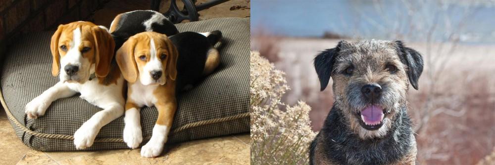 Border Terrier vs Beagle