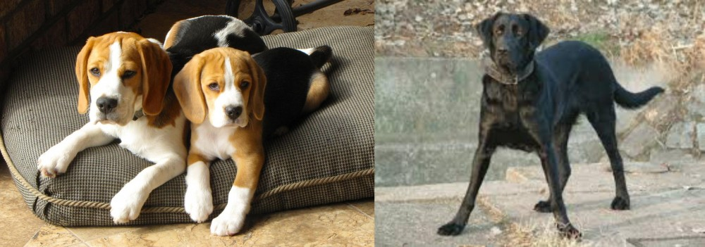 Cao de Castro Laboreiro vs Beagle