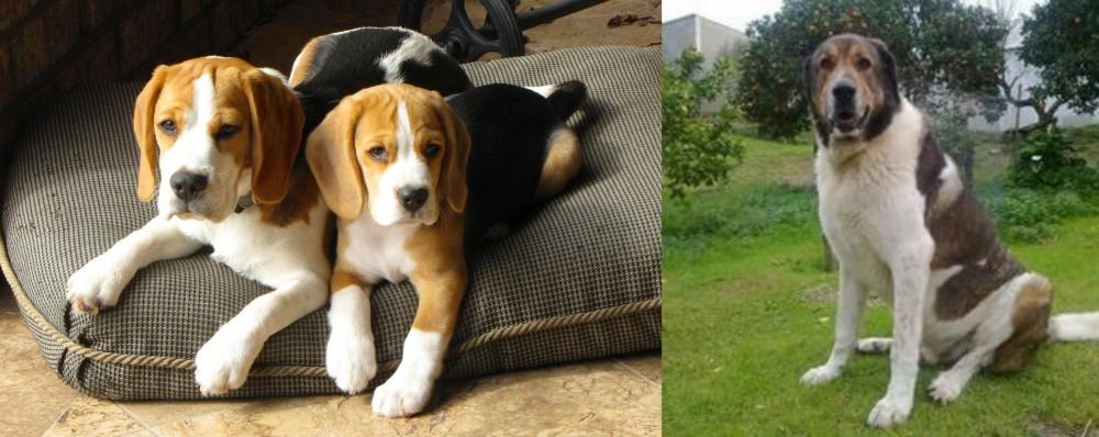 Cao de Gado Transmontano vs Beagle