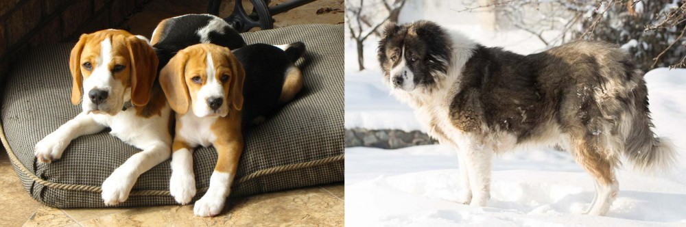 Caucasian Shepherd vs Beagle
