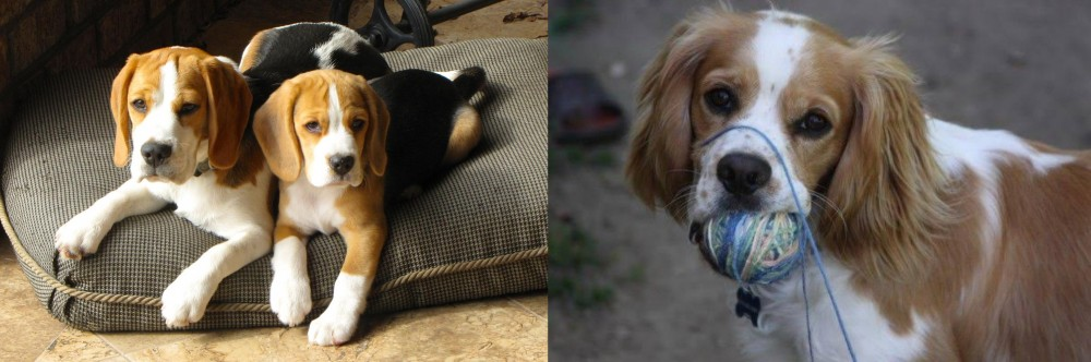 Cockalier vs Beagle