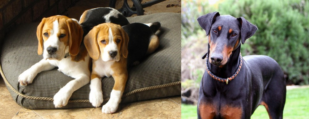 Doberman Pinscher vs Beagle