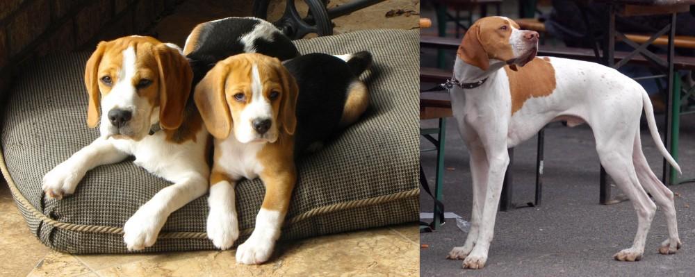 English Pointer vs Beagle