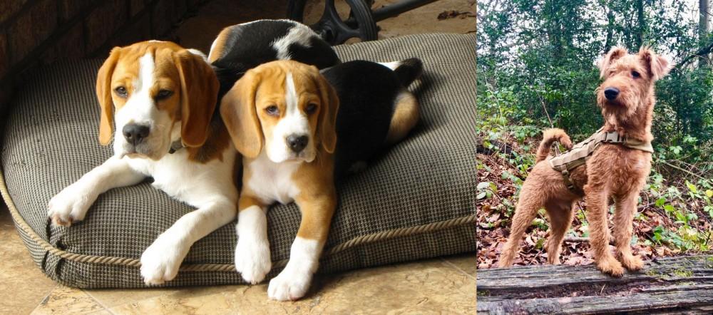 Irish Terrier vs Beagle