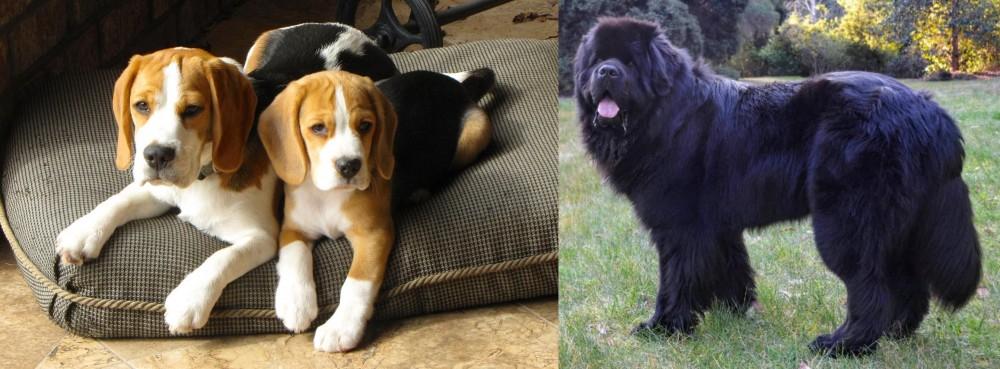 Newfoundland Dog vs Beagle