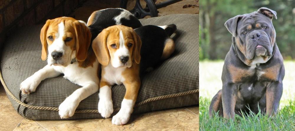 Olde English Bulldogge vs Beagle