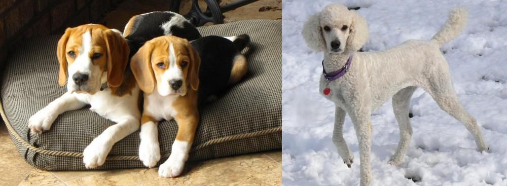 Poodle vs Beagle