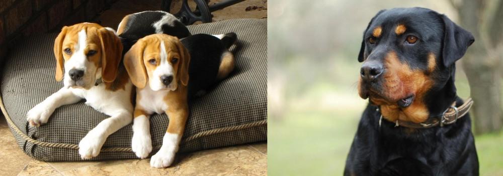 Rottweiler vs Beagle