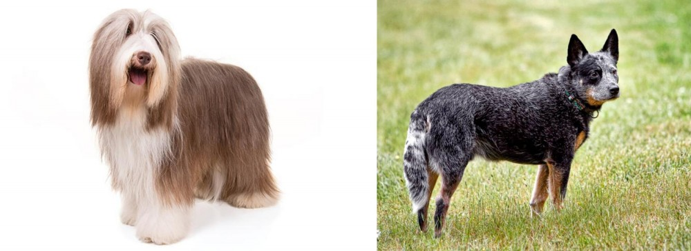 Bearded Collie vs Austrailian Blue Heeler