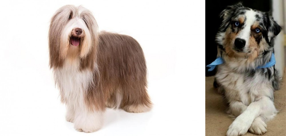 Bearded Collie vs Australian Collie