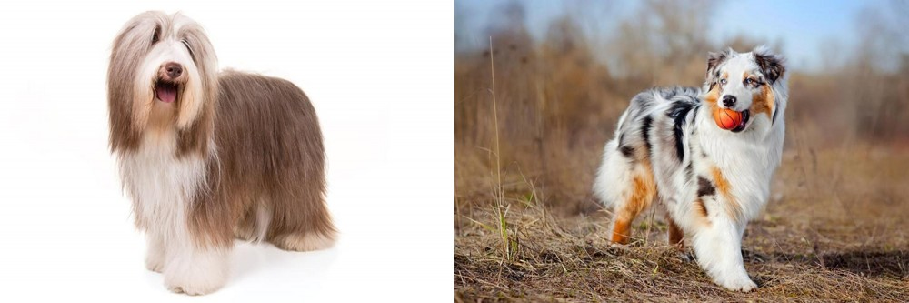 Bearded Collie vs Australian Shepherd