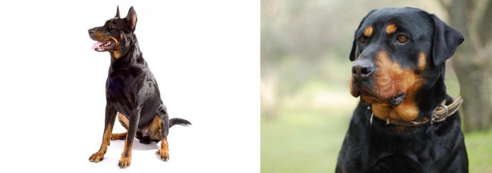 Beauceron vs Rottweiler