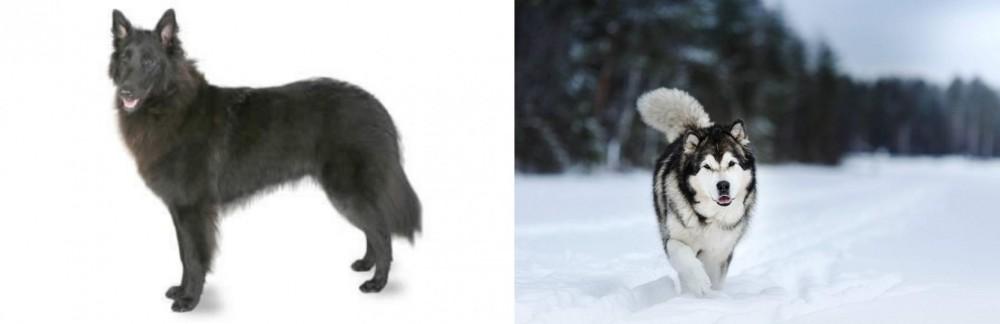 Belgian Shepherd vs Siberian Husky