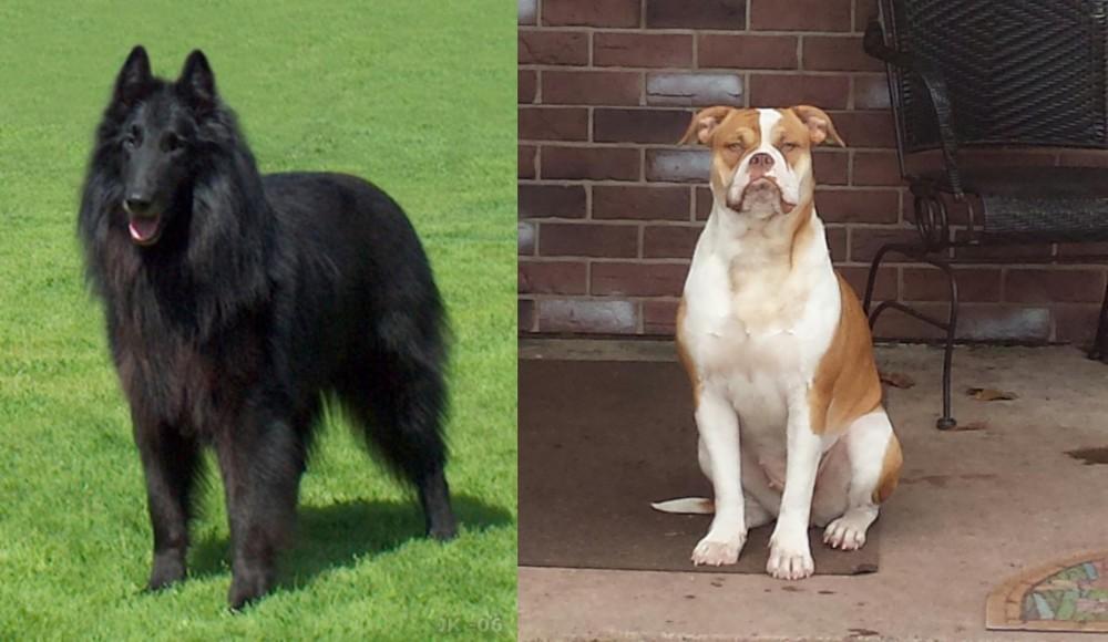 Belgian Shepherd Dog (Groenendael) vs Alapaha Blue Blood Bulldog
