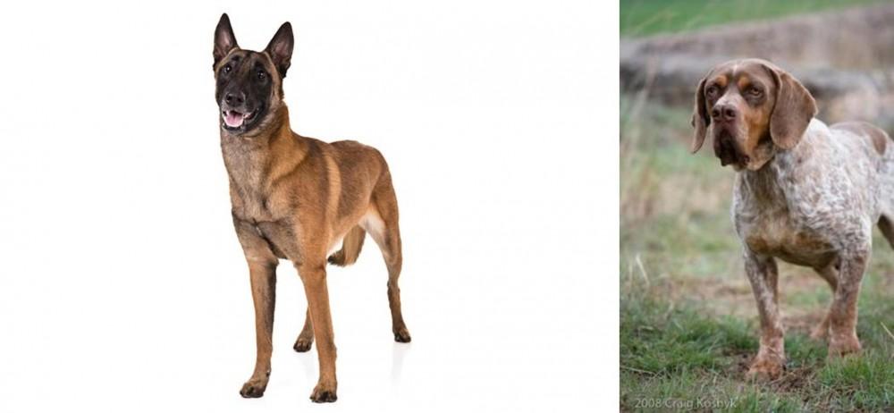 Spanish Pointer vs Belgian Shepherd Dog (Malinois) - Breed ...