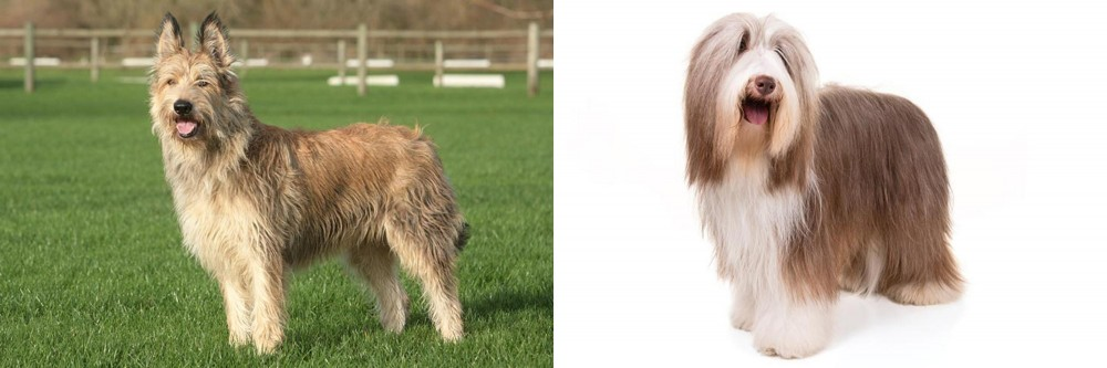 Berger Picard vs Bearded Collie