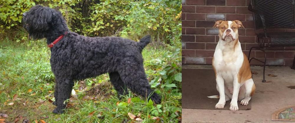 Black Russian Terrier vs Alapaha Blue Blood Bulldog