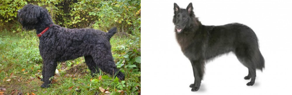 Black Russian Terrier vs Belgian Shepherd