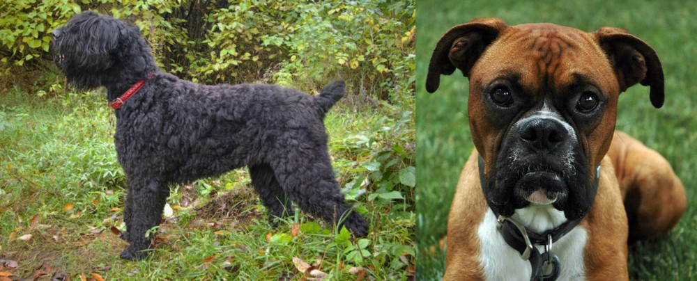 Black Russian Terrier vs Boxer