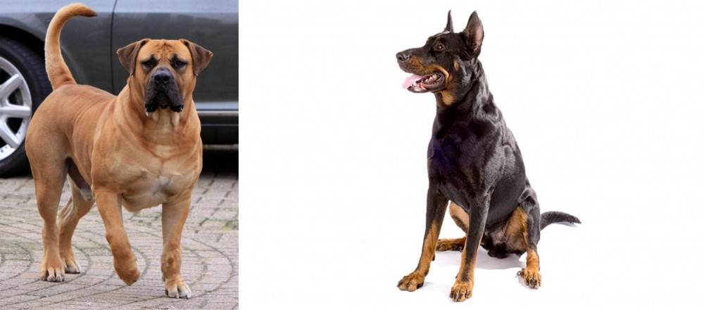 Boerboel vs Beauceron