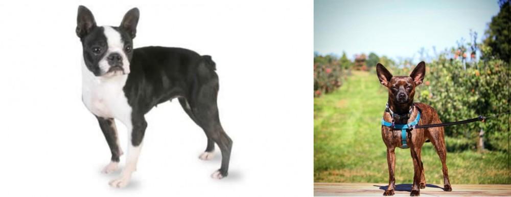 Boston Terrier vs Bospin