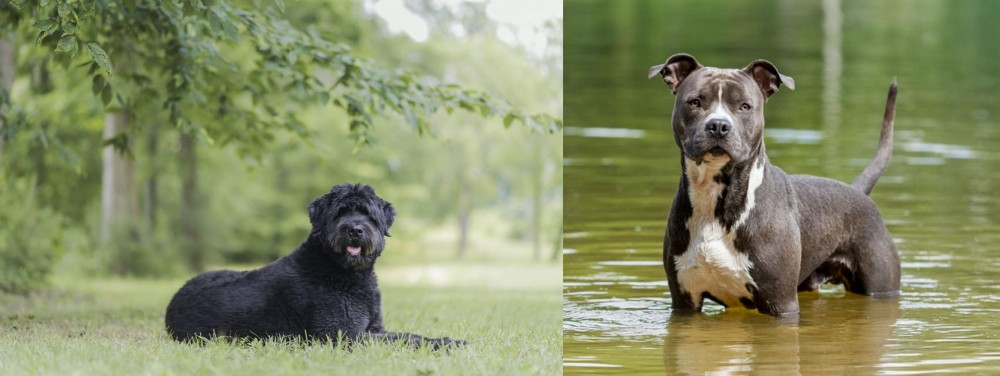 Bouvier des Flandres vs American Staffordshire Terrier