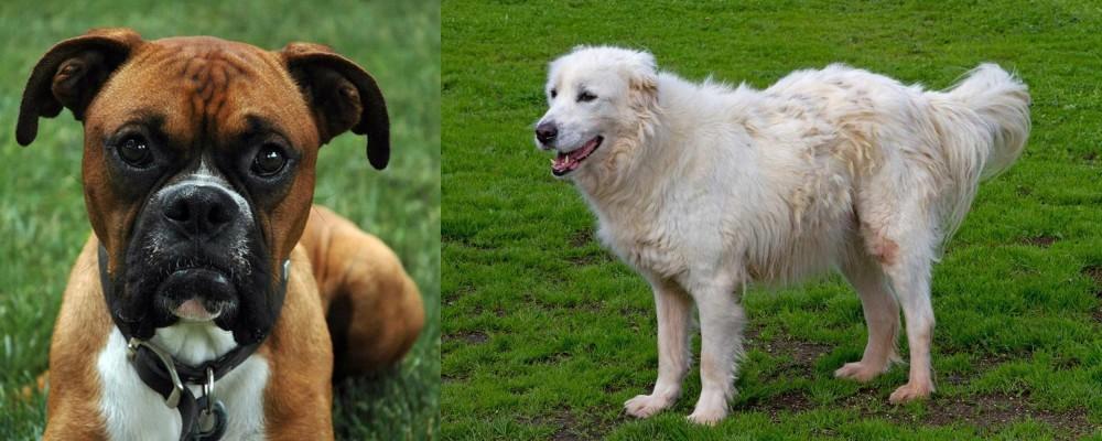 Abruzzenhund vs Boxer
