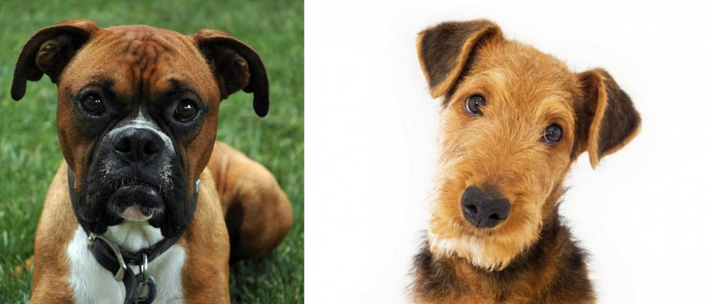 Airedale Terrier vs Boxer