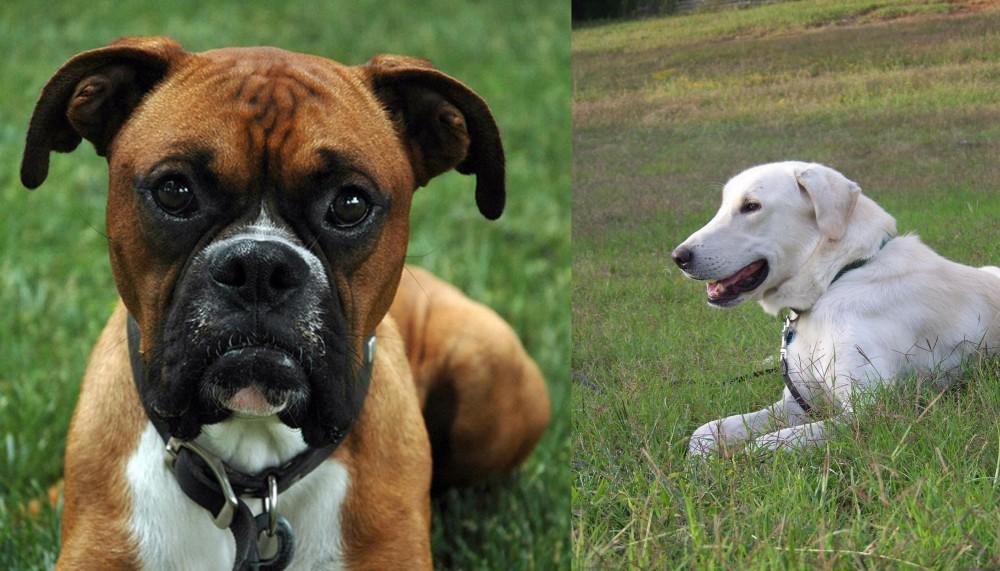 Akbash Dog vs Boxer