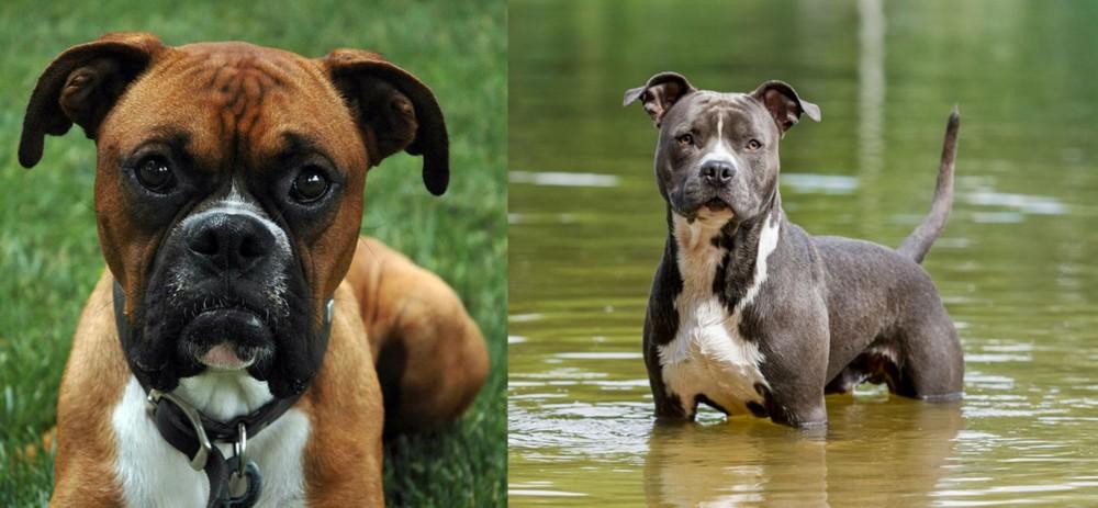 American Staffordshire Terrier vs Boxer