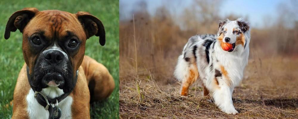 Australian Shepherd vs Boxer