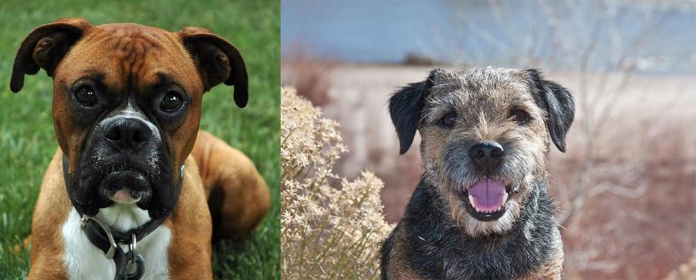 Border Terrier vs Boxer