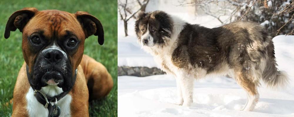 Caucasian Shepherd vs Boxer