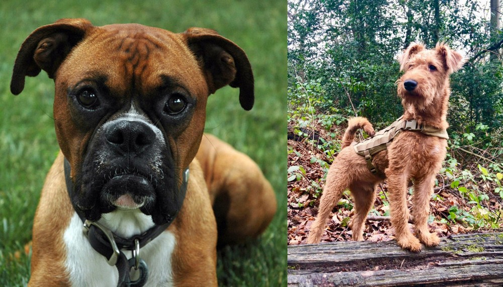 Irish Terrier vs Boxer