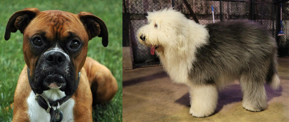 Old English Sheepdog vs Boxer
