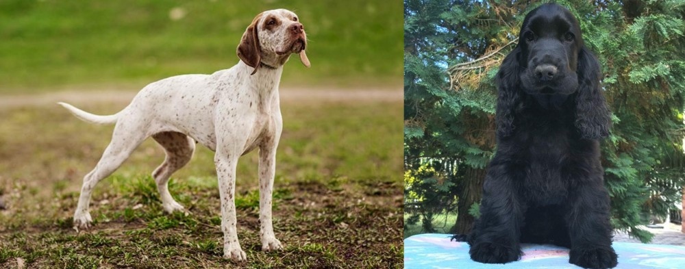 Braque du Bourbonnais vs American Cocker Spaniel
