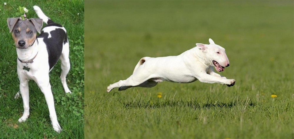 Brazilian Terrier vs Bull Terrier
