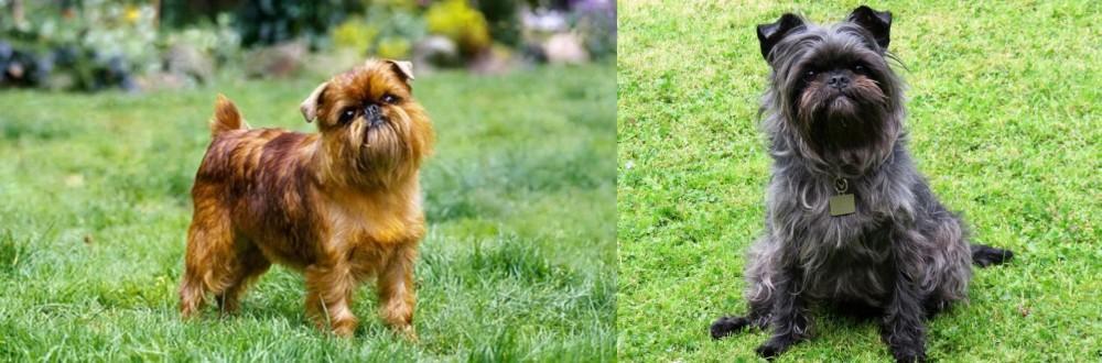Brussels Griffon vs Affenpinscher