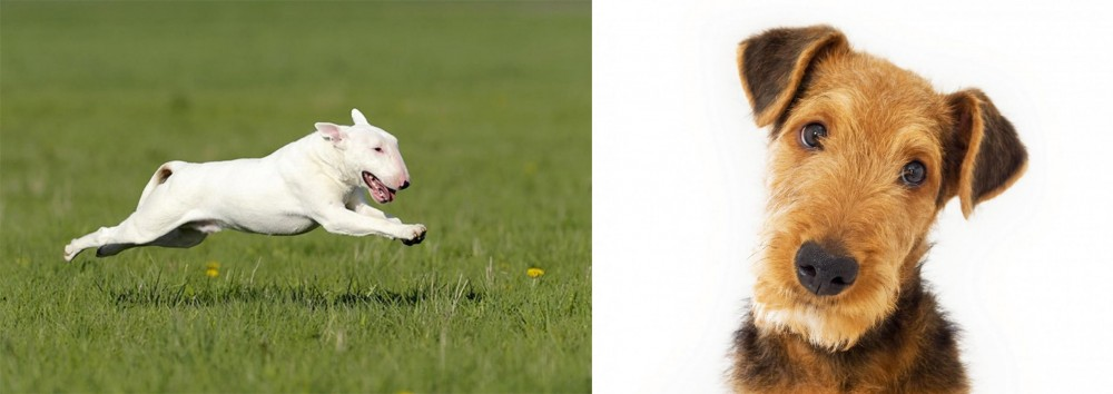 Bull Terrier vs Airedale Terrier
